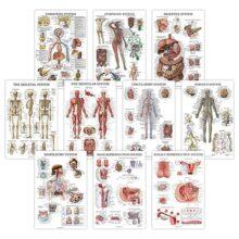 Pack de 10 pósteres anatómicos – Laminados – Muscular, Esqueleto, Digestivo, Respiratorio, Circulatorio, Endocrine, Linfático, Reproductivo masculino y femenino, Sistema nervioso, Juego de gráficos de anatomía – 18 x 27 pulgadas